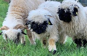Schafwolle als Einlage